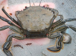 Velvet swimming crab moulting
